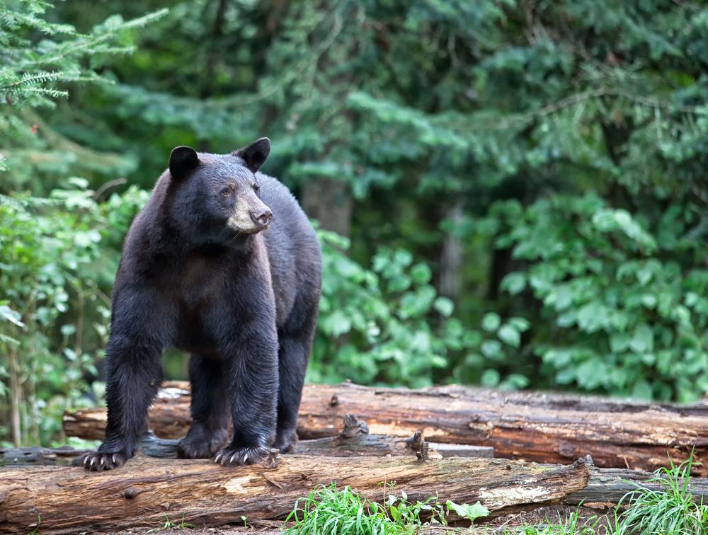 Fekete medve Északon